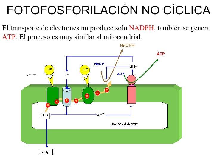 En la fotofosforilacion ciclica se sintetiza 62