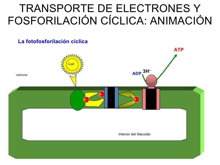 En la fotofosforilacion ciclica se sintetiza 73