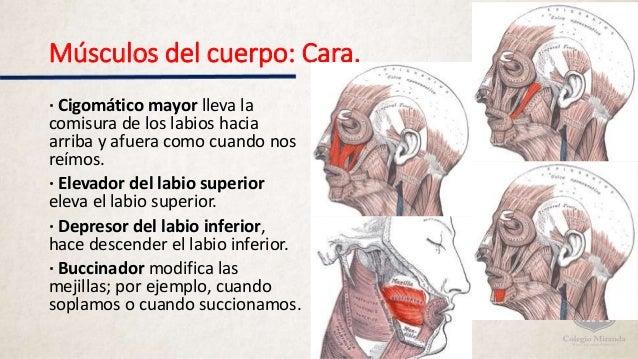 Músculos del cuerpo humano.