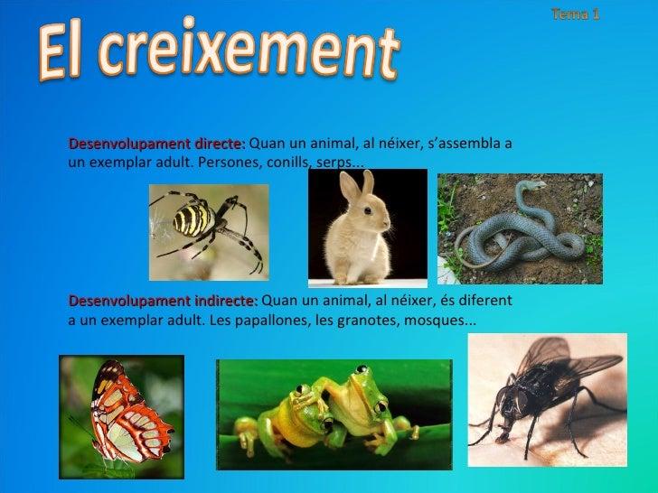 Desenvolupament directe:  Quan un animal, al néixer, s'assembla a un exemplar adult. Persones, conills, serps... Desenvolu...