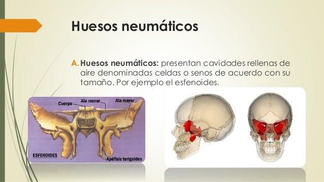 tema 1 huesos y planos anatomicos 21 638