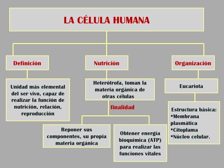 Perfecto Diagrama De Estructura De Célula Humana Galería - Anatomía ...
