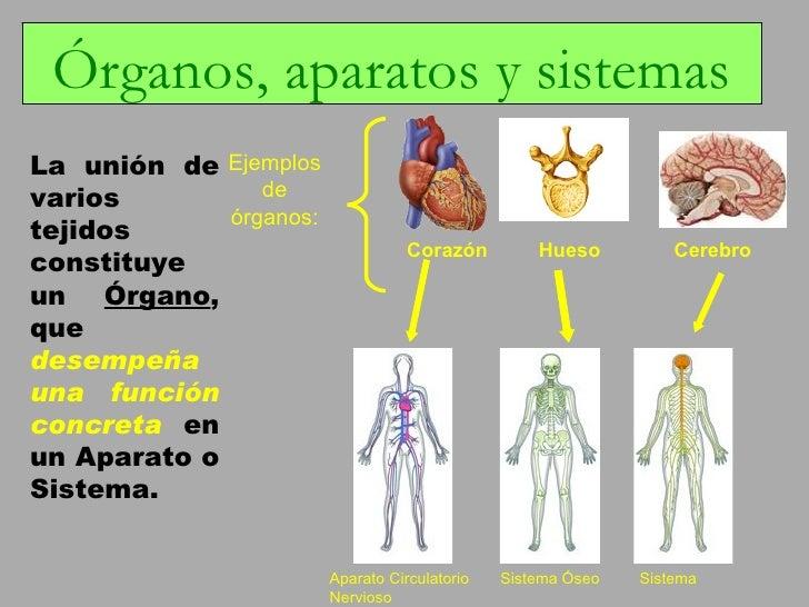 Contemporáneo Diagrama De Sistema De órganos Humanos Ilustración ...
