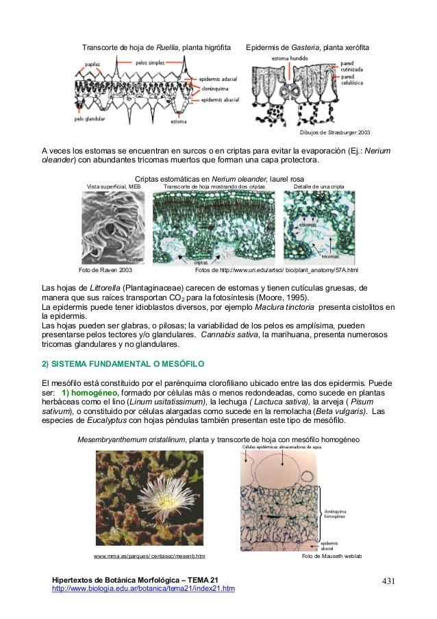 Excelente Anatomía Hoja De La Planta Motivo - Anatomía de Las ...