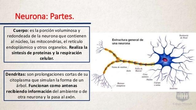 Sistema nerviosos, generalidades, neuronas y sinapsis.