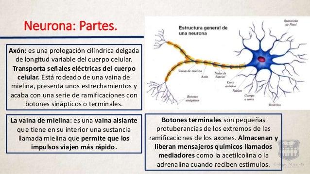 Sistema Nerviosos Generalidades Neuronas Y Sinapsis