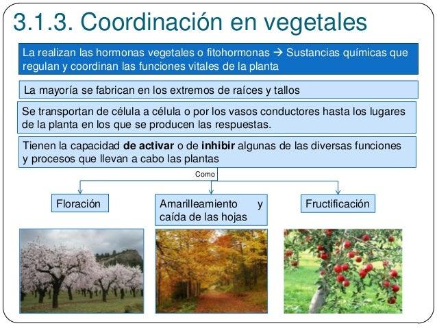 3.1.3. Coordinación en vegetales La realizan las hormonas vegetales o fitohormonas  Sustancias químicas que regulan y coo...