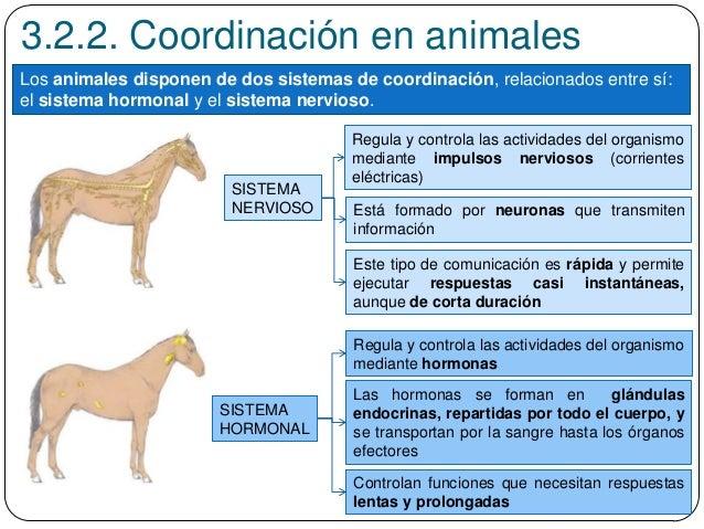 3.2.2. Coordinación en animales Los animales disponen de dos sistemas de coordinación, relacionados entre sí: el sistema h...