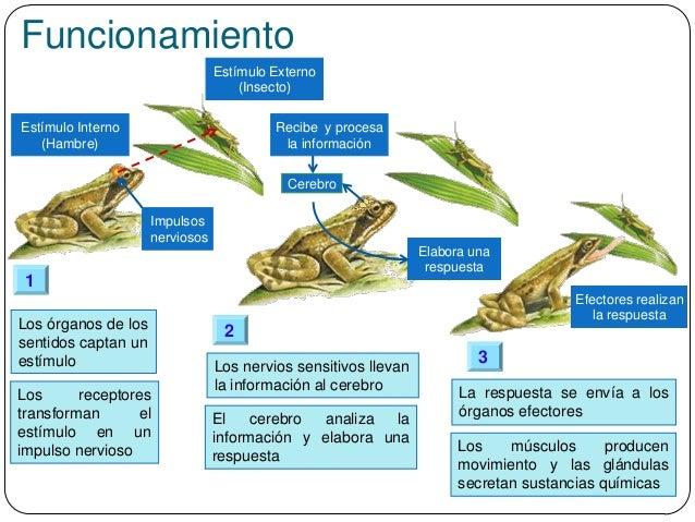 Funcionamiento Estímulo Externo (Insecto) Impulsos nerviosos Los órganos de los sentidos captan un estímulo Los receptores...