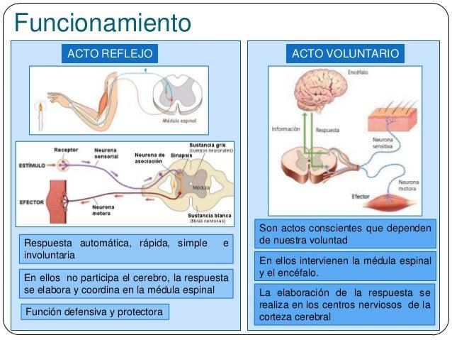 Funcionamiento En ellos intervienen la médula espinal y el encéfalo. ACTO REFLEJO ACTO VOLUNTARIO La elaboración de la res...