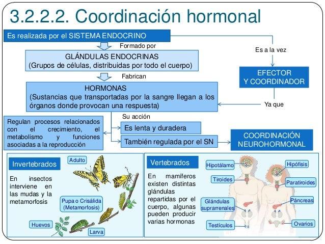 3.2.2.2. Coordinación hormonal Es realizada por el SISTEMA ENDOCRINO GLÁNDULAS ENDOCRINAS (Grupos de células, distribuidas...