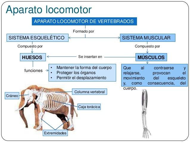 Aparato locomotor APARATO LOCOMOTOR DE VERTEBRADOS Formado por SISTEMA ESQUELÉTICO SISTEMA MUSCULAR HUESOS MÚSCULOS funcio...