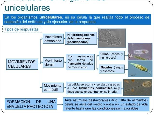 2. Relación en organismos unicelulares En los organismos unicelulares, es su célula la que realiza todo el proceso de capt...