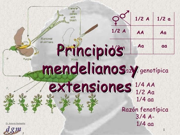 Tema 3: Principios mendelianos y extensiones<br />1<br />1/2 A<br />1/2 a<br />1/2 A<br />AA<br />Aa<br />aa<br />Aa<br />...