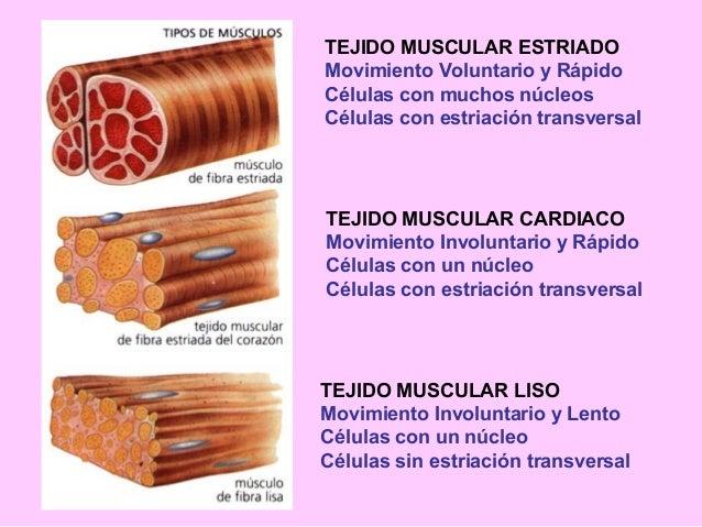 Biología: Clasificación del tejido muscular