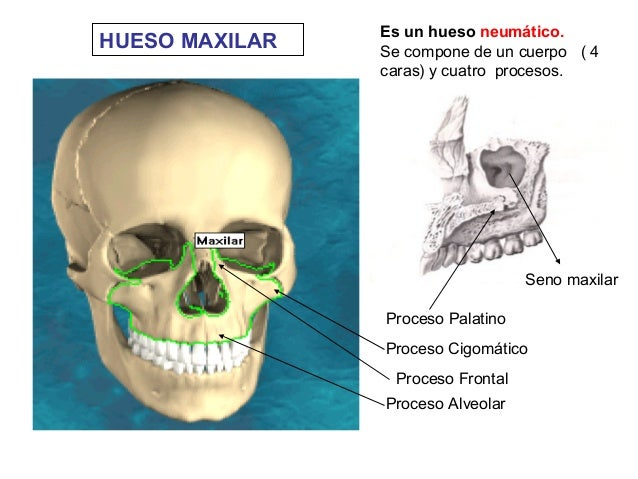 Tema 3.3 esqueleto de la cabeza