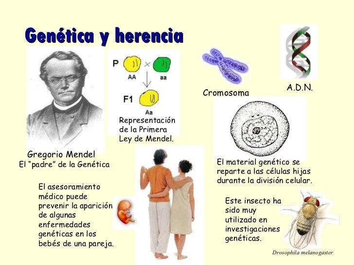 """Genética y herencia El """"padre"""" de la Genética Este insecto ha sido muy utilizado en investigaciones genéticas.  Representa..."""