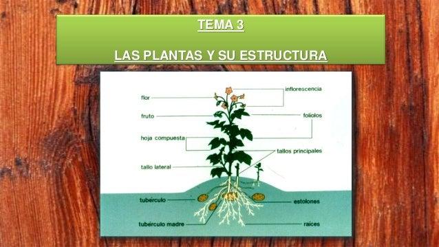 Las Plantas Y Su Estructura Anatomia De La Raíz