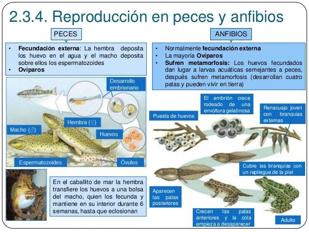 Tema 3 funciones vitales reproducci n for La reproduccion de los peces