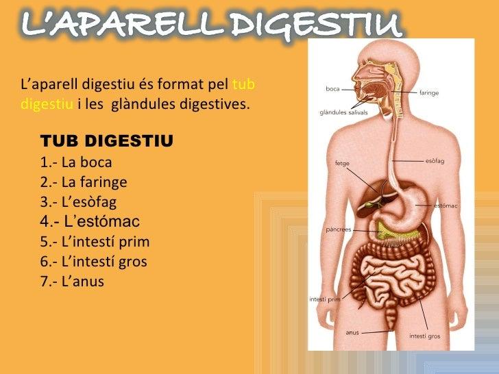 L'aparell digestiu és format pel  tub digestiu  i les  glàndules digestives. TUB DIGESTIU 1.- La boca 2.- La faringe 3.- L...