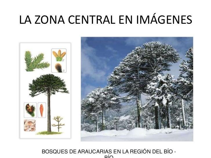 BOSQUES DE ARAUCARIAS EN LA REGIÓN DEL BÍO - BÍO<br />LA ZONA CENTRAL EN IMÁGENES<br />