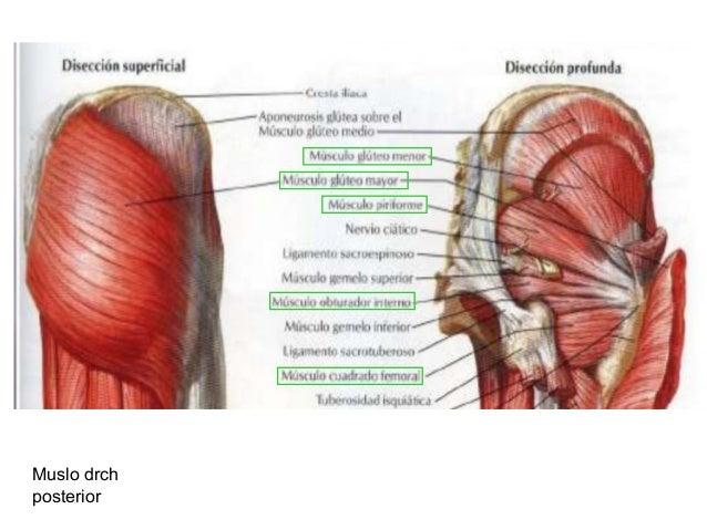 Tema 4.2. articulaciones del miembro inferior. cadera