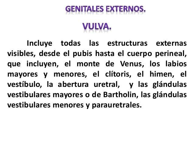 Incluye todas las estructuras externas visibles, desde el pubis hasta el cuerpo perineal, que incluyen, el monte de Venus,...