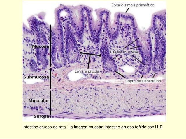 Tema 4. Citología general. Aparato digestivo