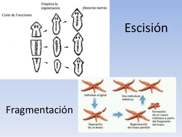 Ejemplos de escision reproduccion asexual imagenes