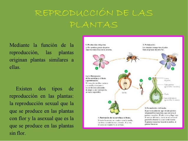 Proceso de reproduccion sexual de las plantas wikipedia