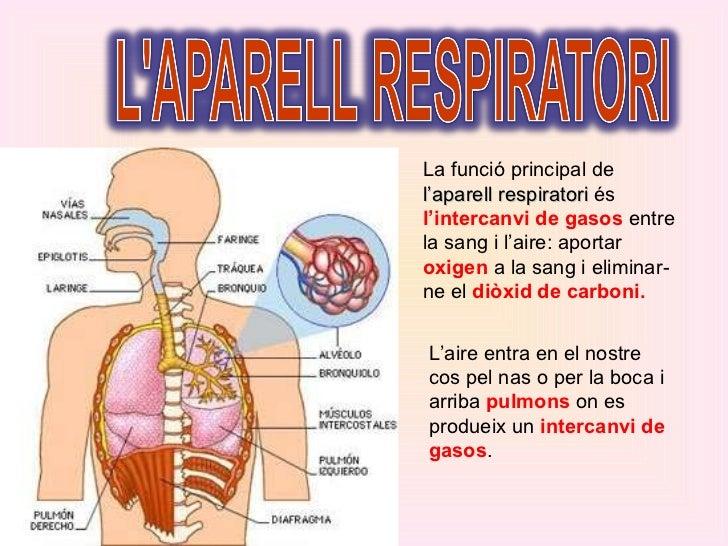 La funció principal de  l'aparell respiratori  és  l'intercanvi de gasos  entre la sang i l'aire: aportar  oxigen  a la sa...