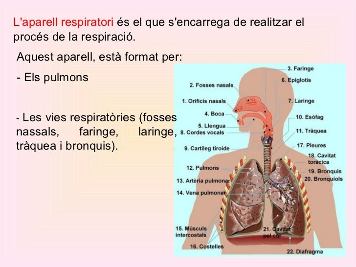 L'aparell respiratori  és el que s'encarrega de realitzar el procés de la respiració.  Aquest aparell, està format per: ...