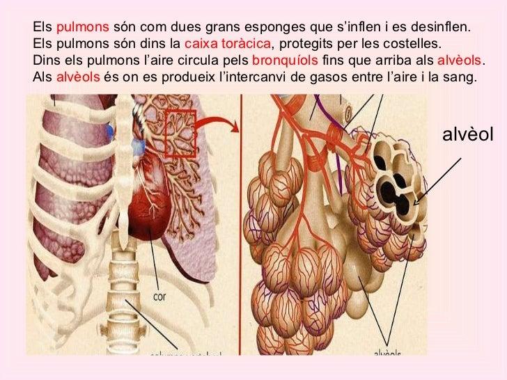 Els  pulmons  són com dues grans esponges que s'inflen i es desinflen.  Els pulmons són dins la  caixa toràcica , protegit...