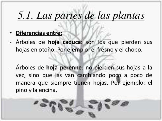 Tema 5 las plantas for Diferencia entre arboles de hoja caduca y hoja perenne