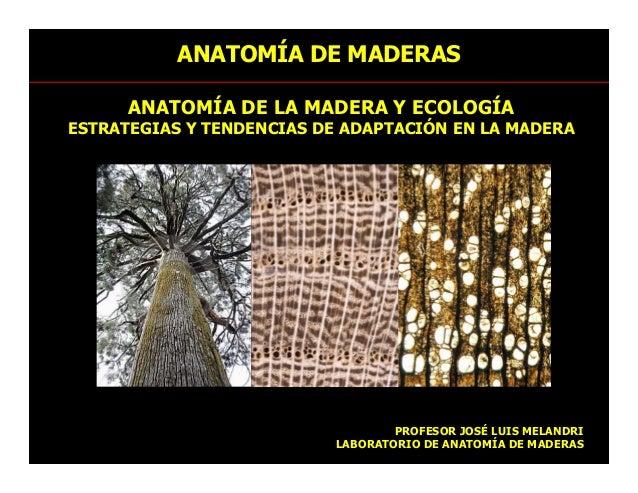 ANATOMÍA DE LA MADERA Y ECOLOGÍA ESTRATEGIAS Y TENDENCIAS DE ADAPTACIÓN EN LA MADERA ANATOMÍA DE MADERAS PROFESOR JOSÉ LUI...