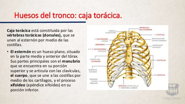 Sistema Seo Huesos De Cuello Y Tronco