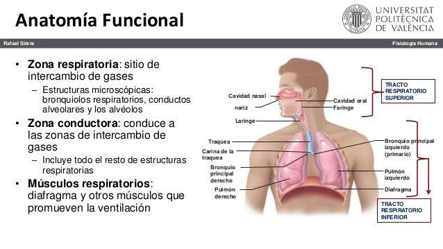 Sistema Respiratorio. Anatomía