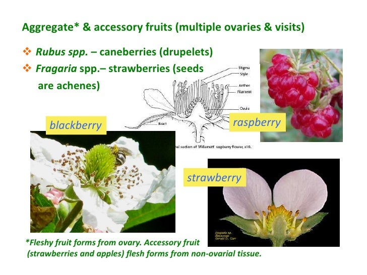 Aggregate* & accessory fruits (multiple ovaries & visits) Rubus spp. – caneberries (drupelets) Fragaria spp.– strawberri...