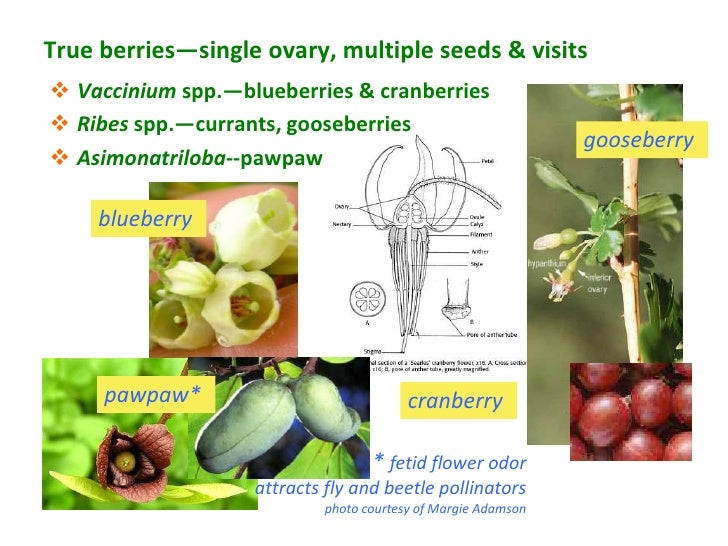 True berries—single ovary, multiple seeds & visits Vaccinium spp.—blueberries & cranberries Ribes spp.—currants, goosebe...