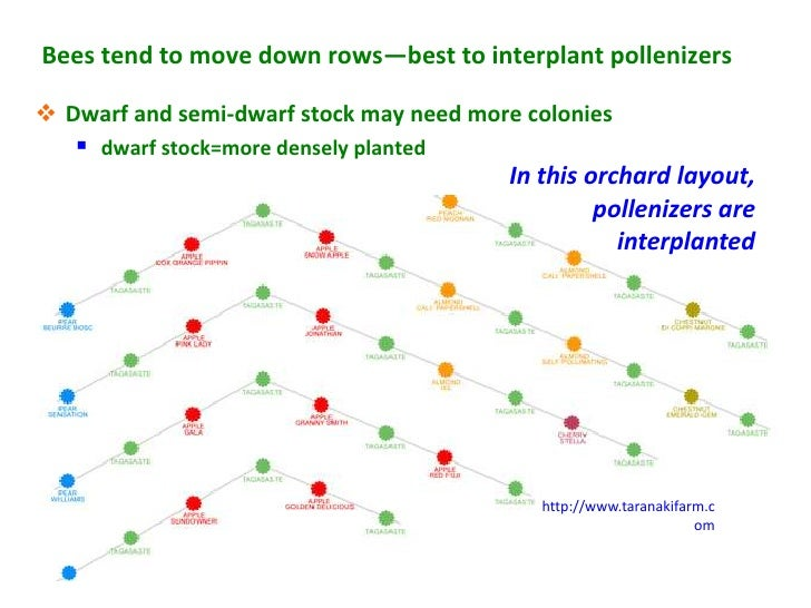 Bees tend to move down rows—best to interplant pollenizers Dwarf and semi-dwarf stock may need more colonies    dwarf st...