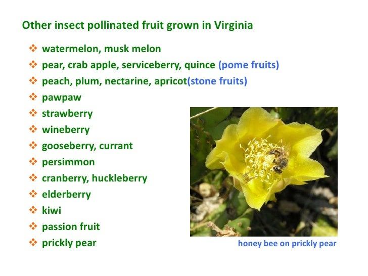 Other insect pollinated fruit grown in Virginia    watermelon, musk melon    pear, crab apple, serviceberry, quince (pom...