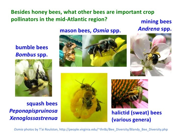Besides honey bees, what other bees are important croppollinators in the mid-Atlantic region?          mining bees        ...