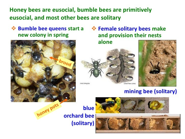 Honey bees are eusocial, bumble bees are primitivelyeusocial, and most other bees are solitary Bumble bee queens start a ...