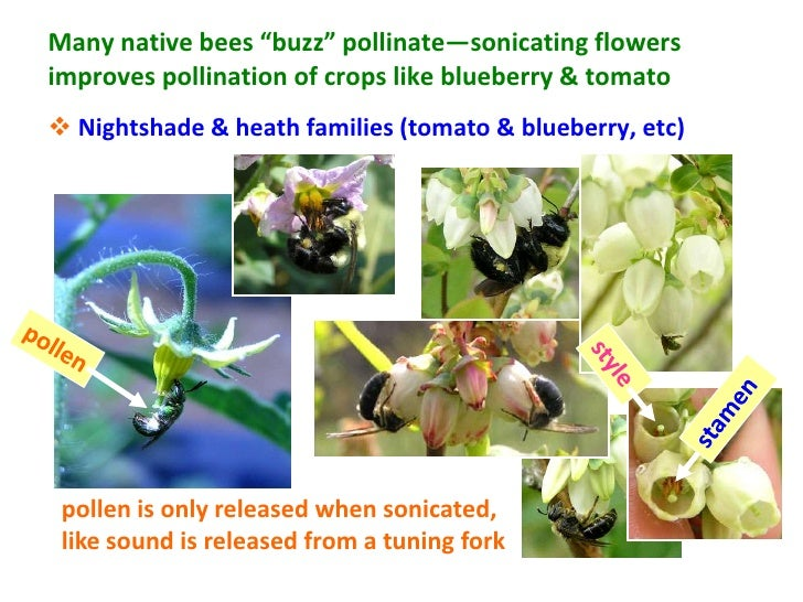 """Many native bees """"buzz"""" pollinate—sonicating flowersimproves pollination of crops like blueberry  tomato Nightshade  heat..."""
