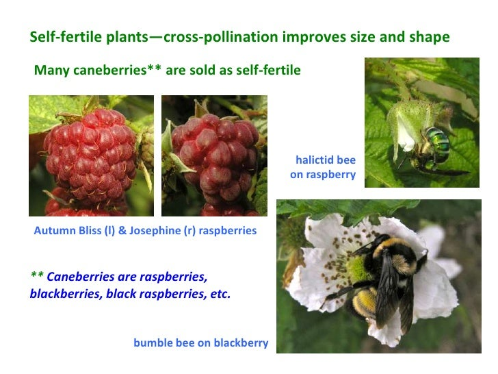 Self-fertile plants—cross-pollination improves size and shapeMany caneberries** are sold as self-fertile                  ...