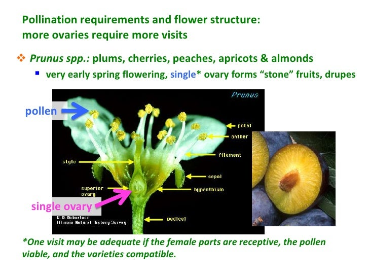 Pollination requirements and flower structure: more ovaries require more visits Prunus spp.: plums, cherries, peaches, ap...