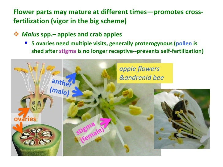 Flower parts may mature at different times—promotes cross-fertilization (vigor in the big scheme) Malus spp.– apples and ...