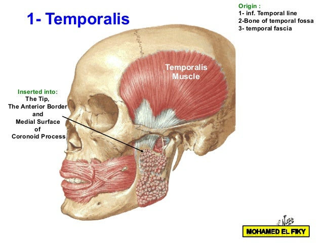 temporal and infratemporal region part 1