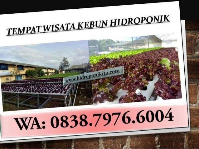 Wa 0838 7976 6004 Tempat Wisata Kebun Hidroponik Di Serua Farm Dep