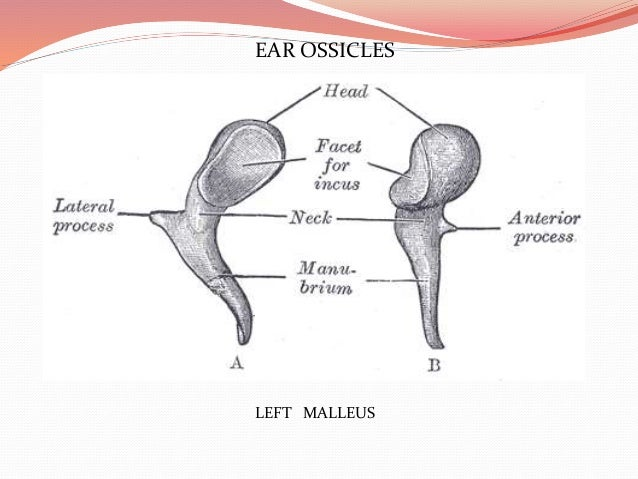 Imaging of temporal bone ear ossicles left malleus ccuart Image collections